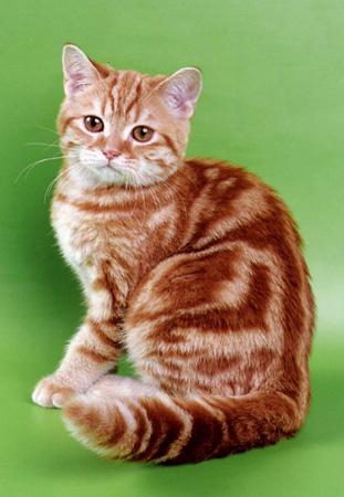 Фото вислоухих котов мраморного окраса