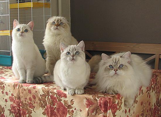 домашнее фото британских котят