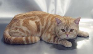 мраморные коты фото